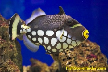 Triggerfish Clown