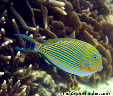 Stripped Surgeonfish