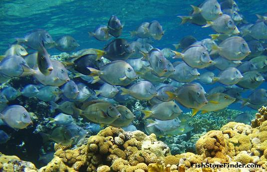 Tropical saltwater freshwater fish stores in indiana for Freshwater schooling fish